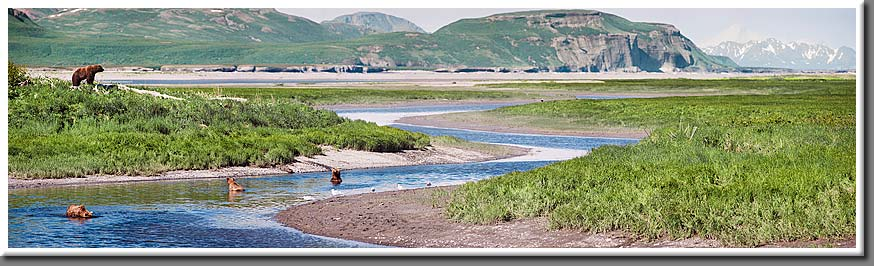 Four Alaska brown bears await the incoming tide and the salmon it will bring with it.